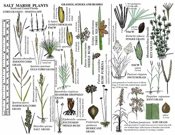 Salt Marsh Plants of South and Central Florida Card 1