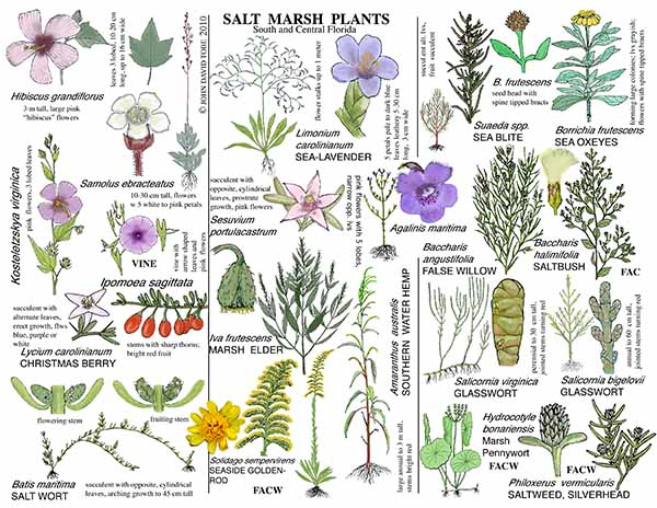 Salt Marsh Plants of South and Central Florida Card 2